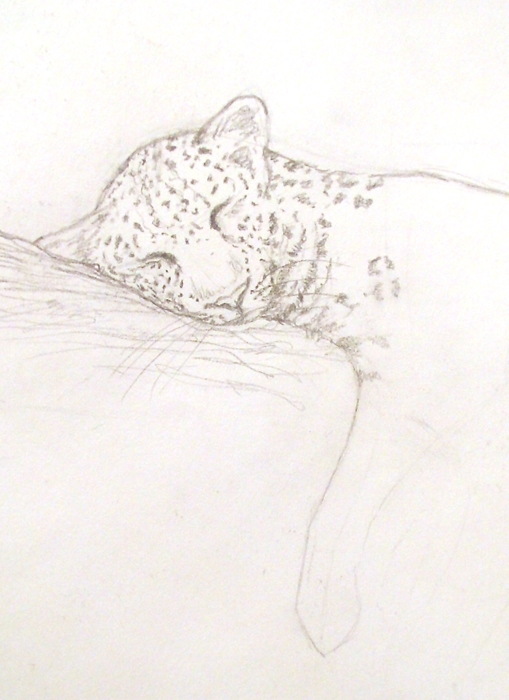 Initial pencil drawing for leopard watercolor by Alison Nicholls