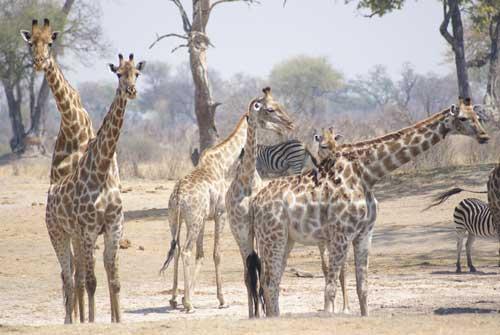 Giraffes by Alison Nicholls ©2007