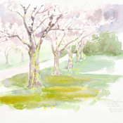 Cherry Blossom Crawford Park