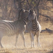 Zebra Stallions