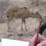 Sketching Kudu at Africa on Foot