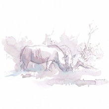 White Rhinos Drinking © Alison Nicholls