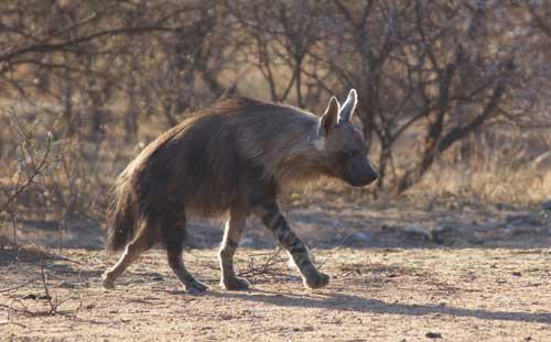 Brown Hyena © Nigel Nicholls 2013