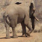Elephant bull, photo by Nigel Nicholls