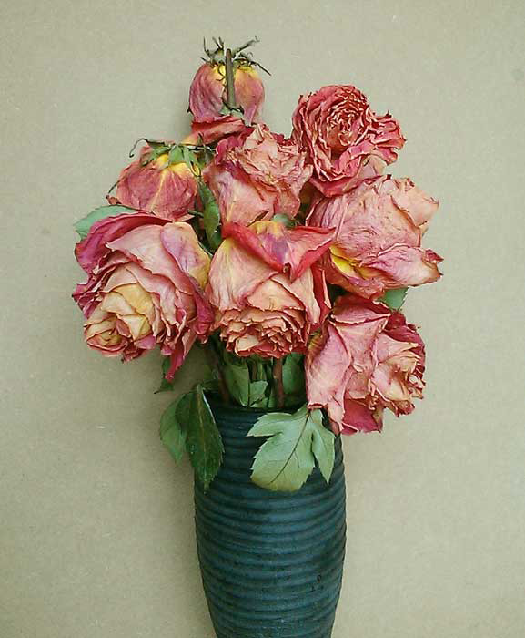 Roses photo by Alison Nicholls