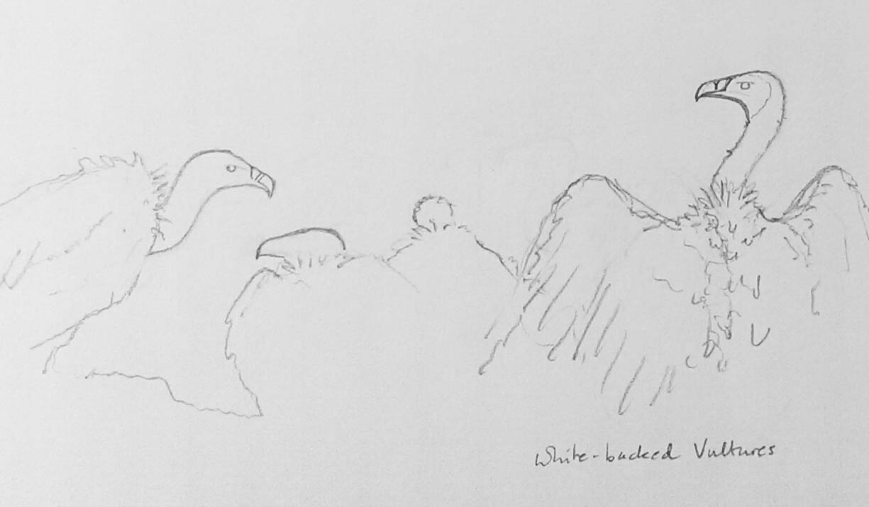 White-backed Vultures drawing by Alison Nicholls ©2017